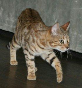 котята Бенгалы и Мейн куны Торг.