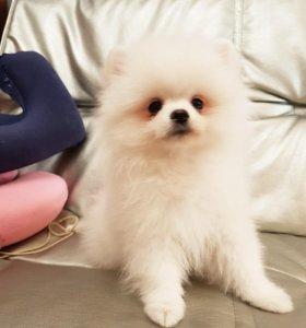 Продам щенков белого померанского шпица