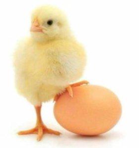 Суточные цыплята, индюшата, цесарят, утята, гусята