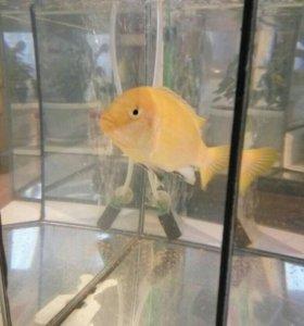 Рыбка жёлтая