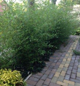 Бамбук листоколосник уличный