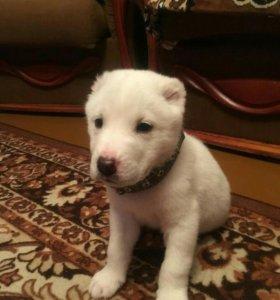 Продам щенков алабая