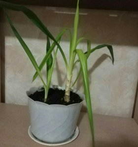 Юкка (2 растения с горшком)