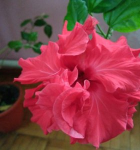 Роза гибискус