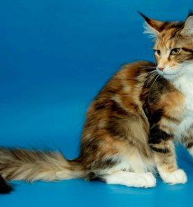 Котята Мейн-кунята