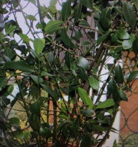 Растение ( лавровый лист)