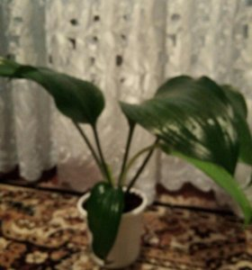 Лилия комнатная белая