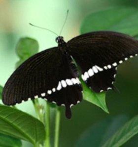 Яркие Живые Бабочки из Непал Янтарная