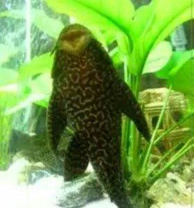 Сом в аквариум