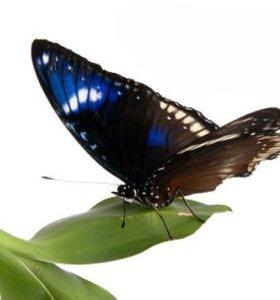 Яркие Живые Бабочки из Таиланда Изабэла