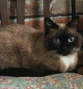 Кошечка и Котик Сноу-шу
