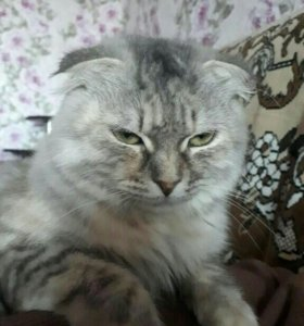 Кошка шатландская