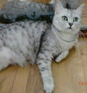 2 годовалая кошка