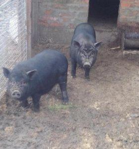 Свинка 6 мес.