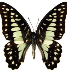 Экзотические Живые Бабочки из ЮАР Южная
