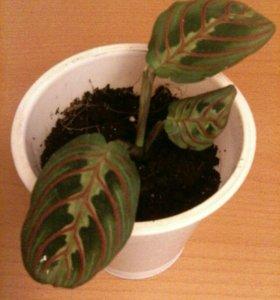Калатея Комнатные растения