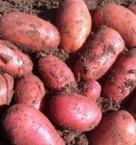 Продать картофель в красноярске частные объявления ярмарка работа калининград свежие вакансии за сегодня