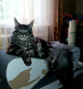 Кот на вязку.
