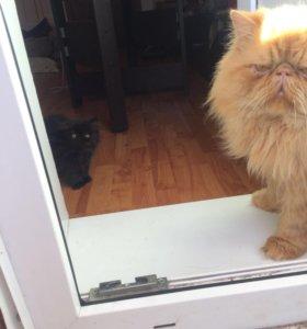 Персидский кот на вязку