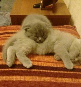Шотландские вислоухие котята