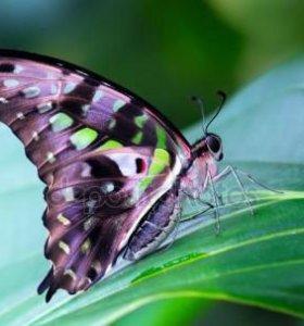 Экзотические Живые Бабочки из ЮАР Голубой Морфо