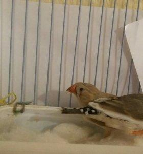 Амадины - дек. птицы