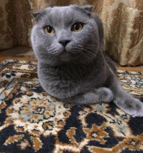 На вязку  кот шотландской породы