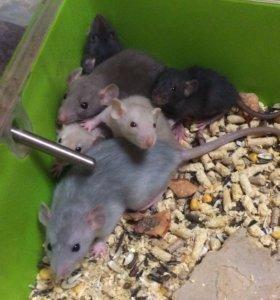 Крысята малыши