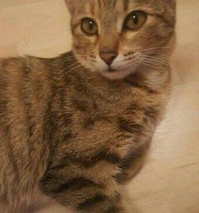 Котёнок-подросток тигрового окраса