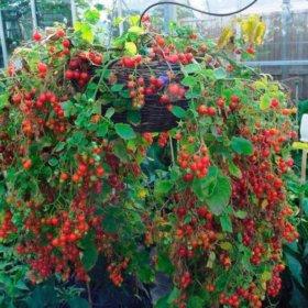 Семена ампельных томатов