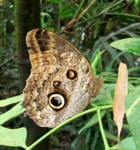 Тропические Живые Бабочки из ЮАР Белый Морфо