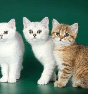 Элитные котята к новому году!!!