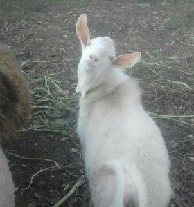 Зааненский козел для случки