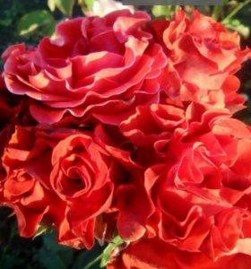 Розы. Кусты.