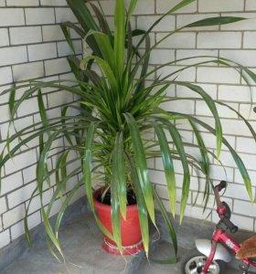 Комнатный цветок Панданус