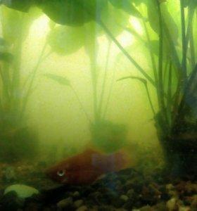 Рыбки мальки меченосцев