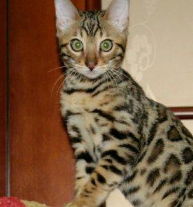 Бенгальский котик.