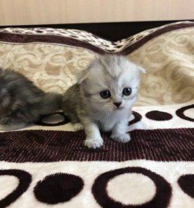 Кошечка вислоухая