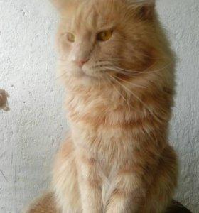 Продам котят мейн кун