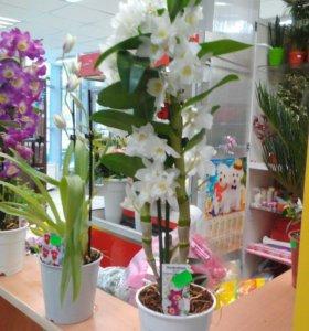 орхидея белая дендробиум боровск