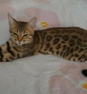 Кошка для вязки, бенгальской породы