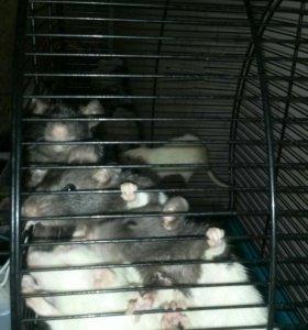 Крыски породы рекс и альбинос