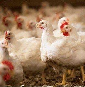 Бройлерные цыплята, Куры несушка, гусята, утята