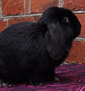 Кролик французского барана