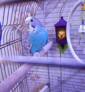 Два волнистых попугая вместе с клеткой.