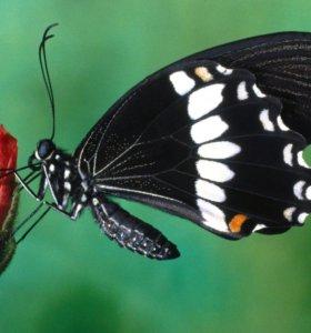 Экзотические Живые Бабочки из Африки гортензия