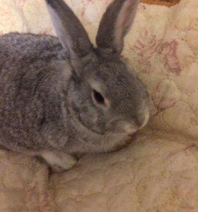 Кролик декоративный, мальчик 4 месяца