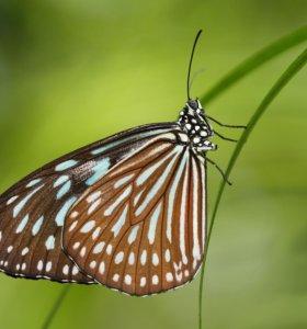 Экзотические Живые Бабочки из Чили Белый Ангел