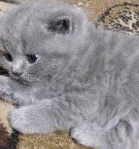 """Котята """"Голубые британки"""""""