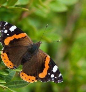 Тропические Живые Бабочки из Чили Белый Морфо